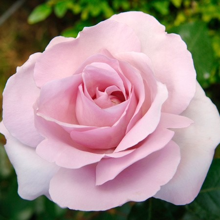 Roses for a cause…